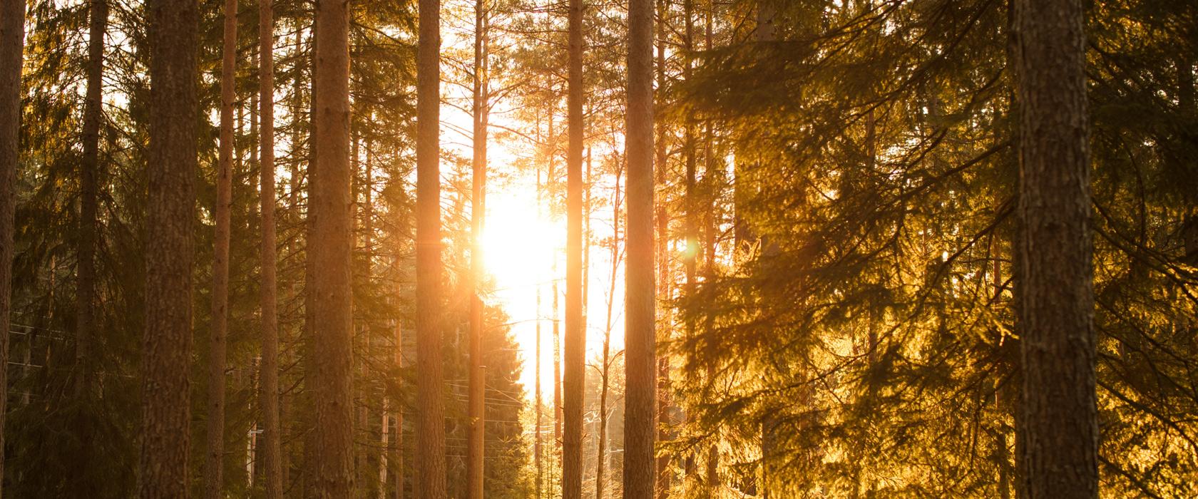 Norsk skog i solnedgang.